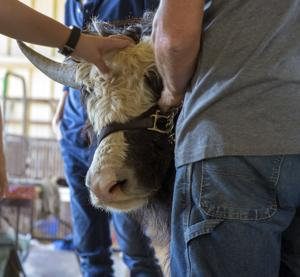 Third Annual Yak Expo comes to Morehead