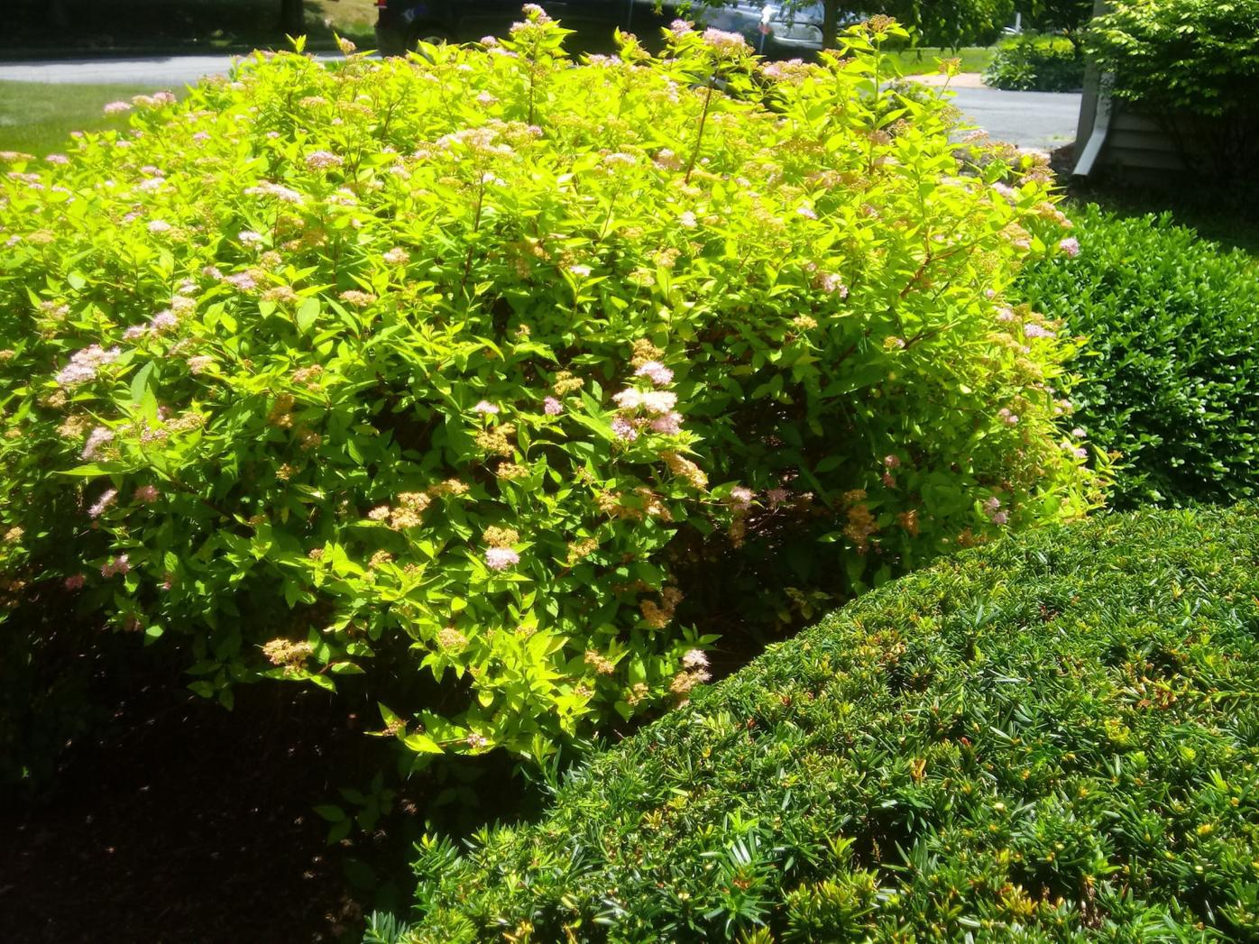 Yew in foreground, spirea in background.
