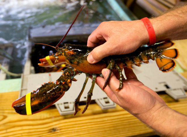 China's imports of lobster are helping keep U.S. prices high; no tariff in sight