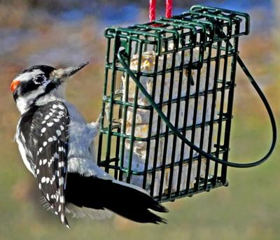 012120 STN Woodpecker at feeder 262.JPG