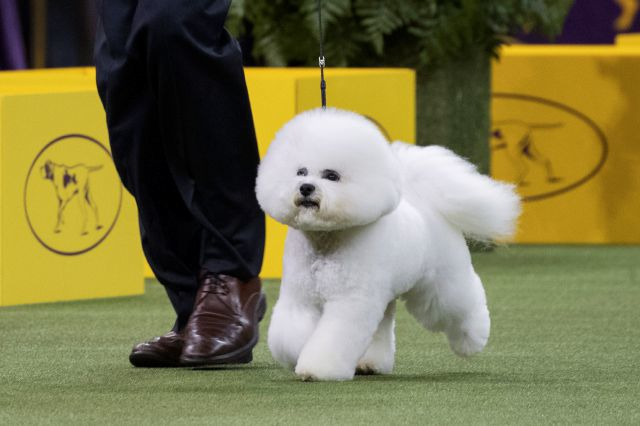 Bichon frise, Flynn, wins best in show at Westminster