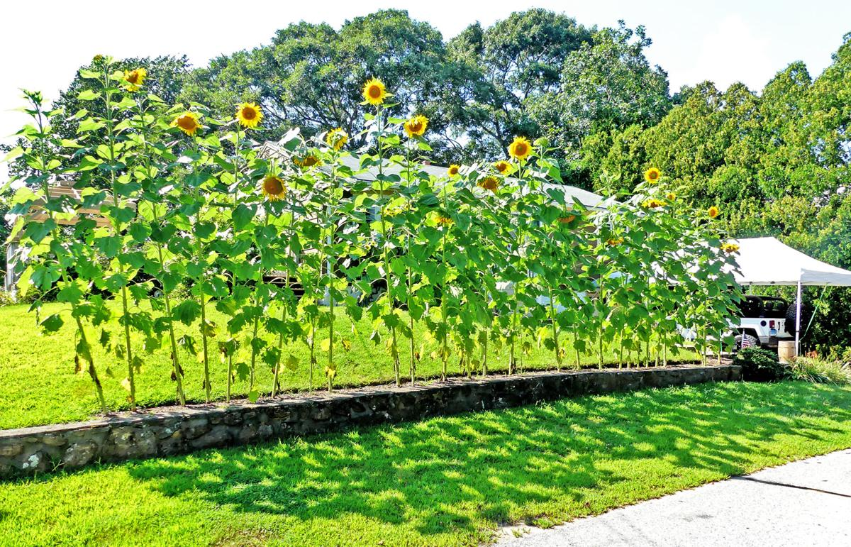 082019 PAW Sunflowers hedge 427.JPG