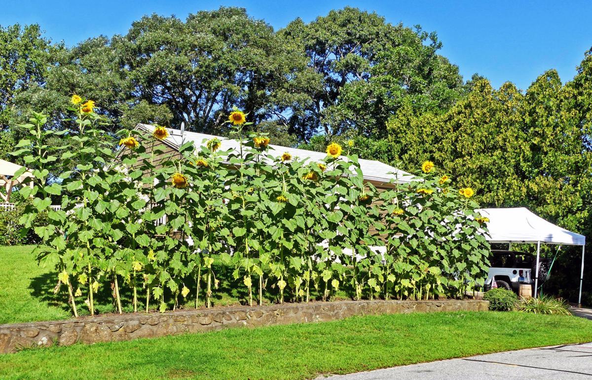 082019 PAW Sunflowers hedge 430.JPG
