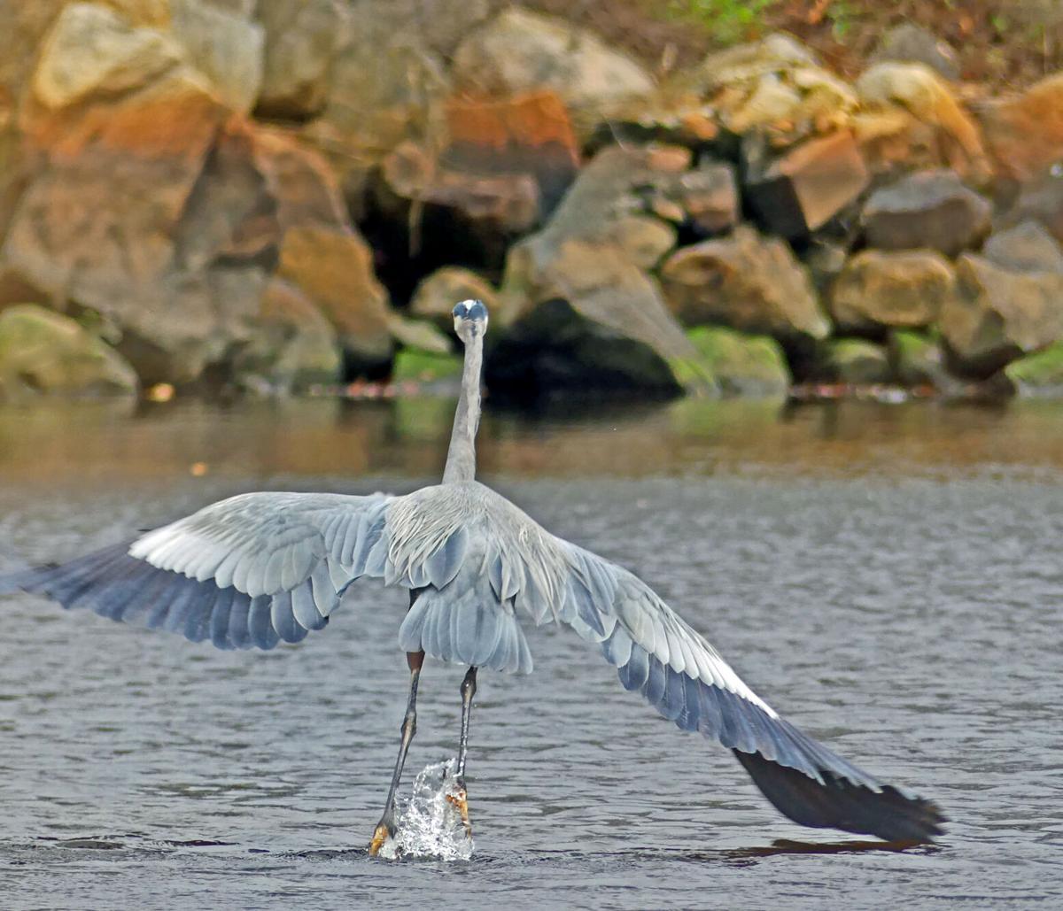 WLD Blue Heron cove 18276.JPG