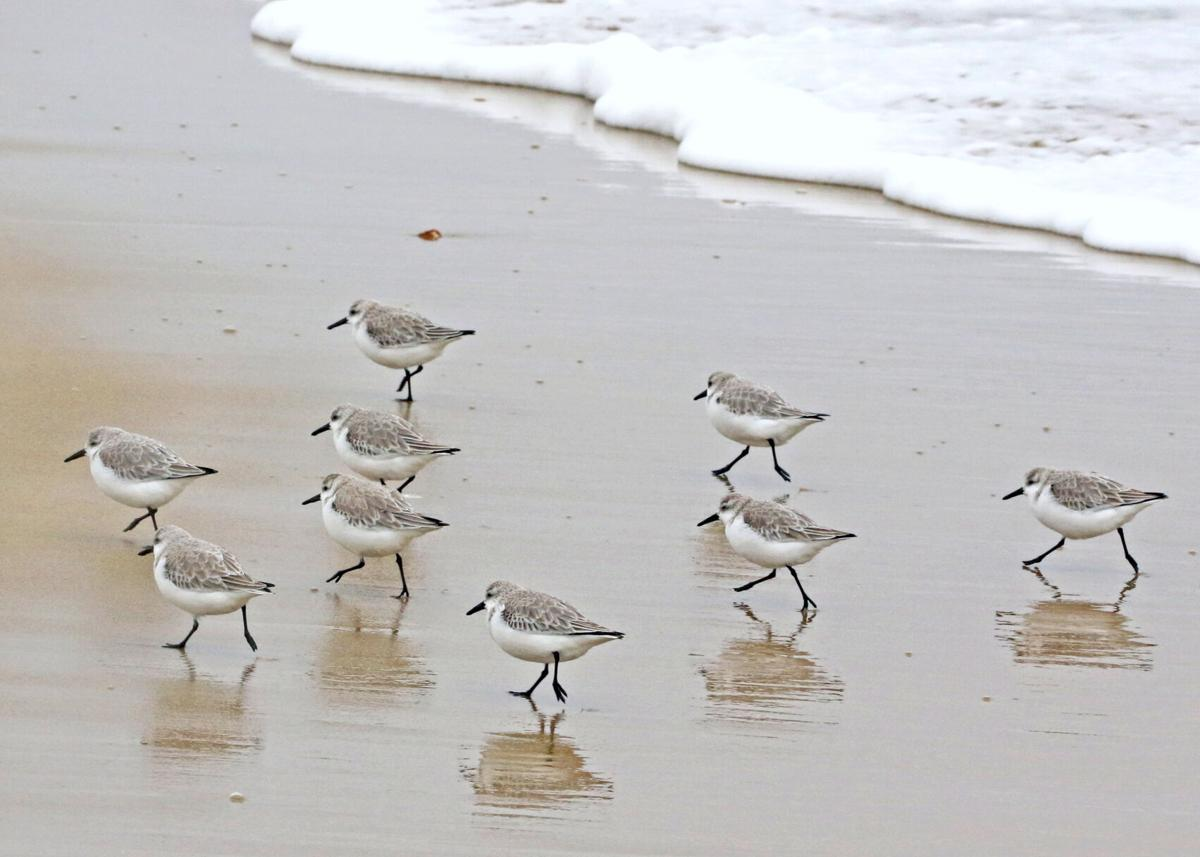 021621 WES Sanderlings i at Napatree hh 30268_edited-1.jpg