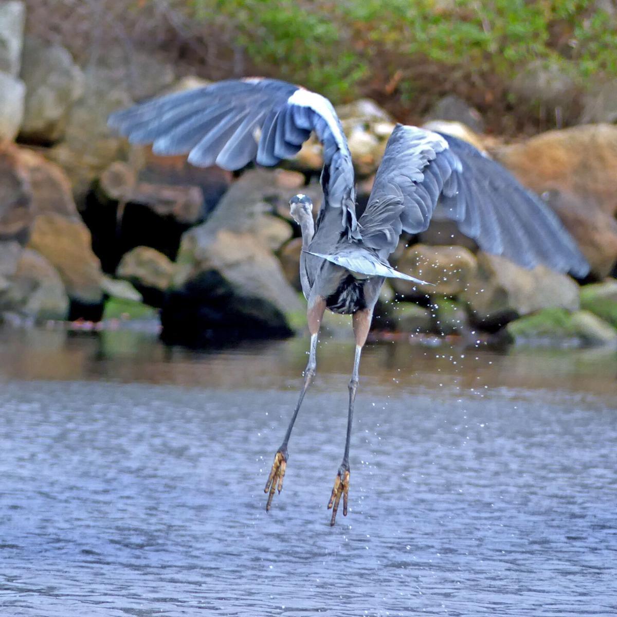 WLD Blue Heron cove 18278.JPG