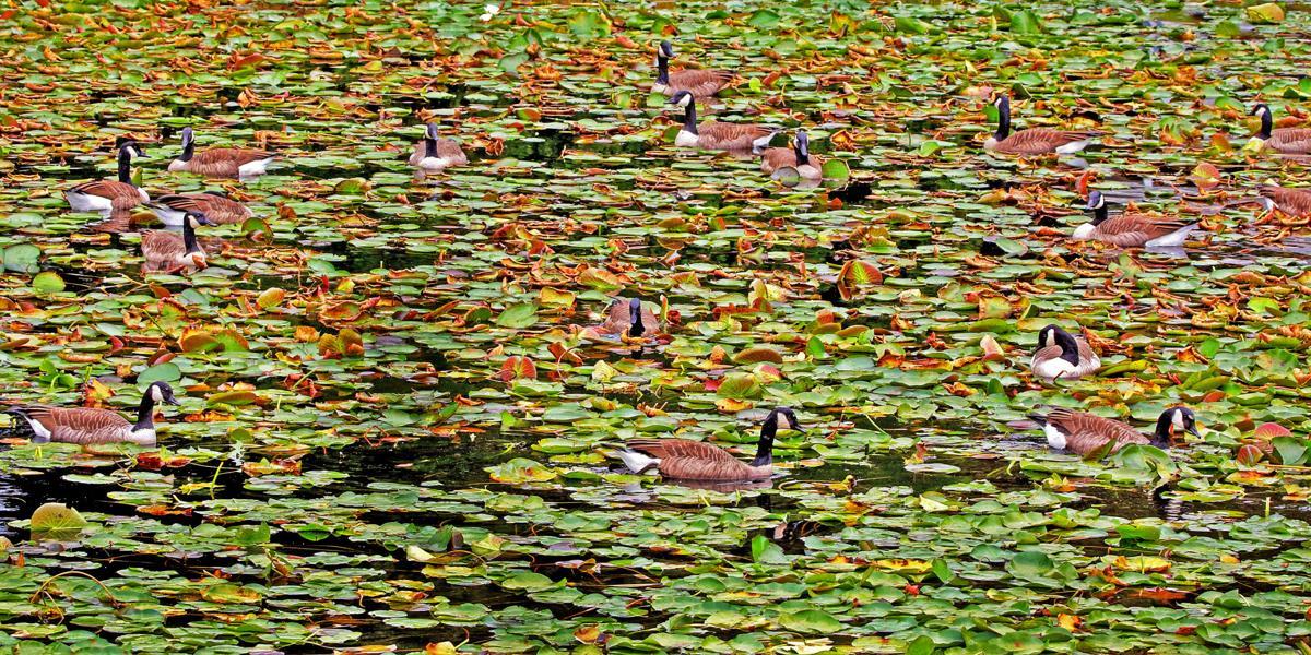 100119 MYS Pond full of geese977.JPG