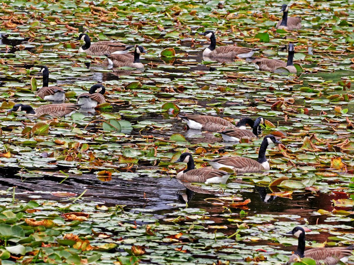 100119 MYS Pond full of geese973.JPG