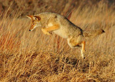 DEM issues warning, safety tips with coyote sightings in Rhode Island on the rise
