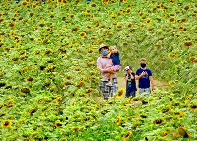 REG Buttonwood sunflower patch 30499.JPG