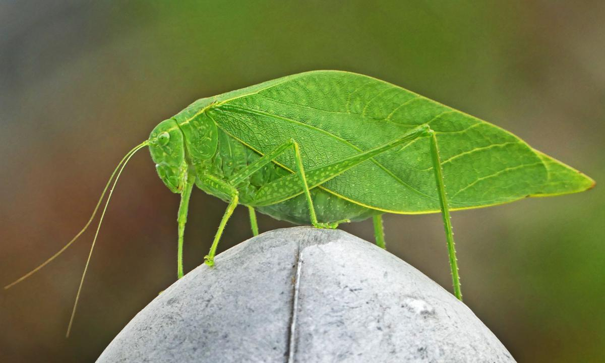 100319 ASH Katydid on post 1128.JPG