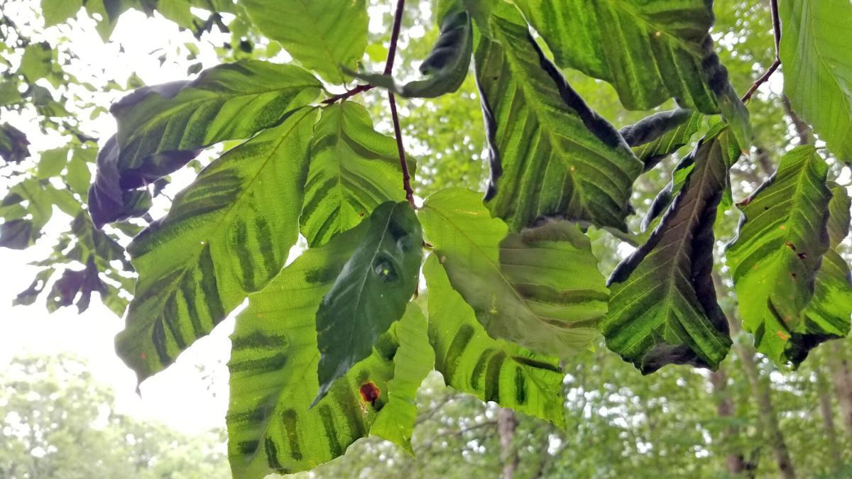 Beech leaf disease.jpg