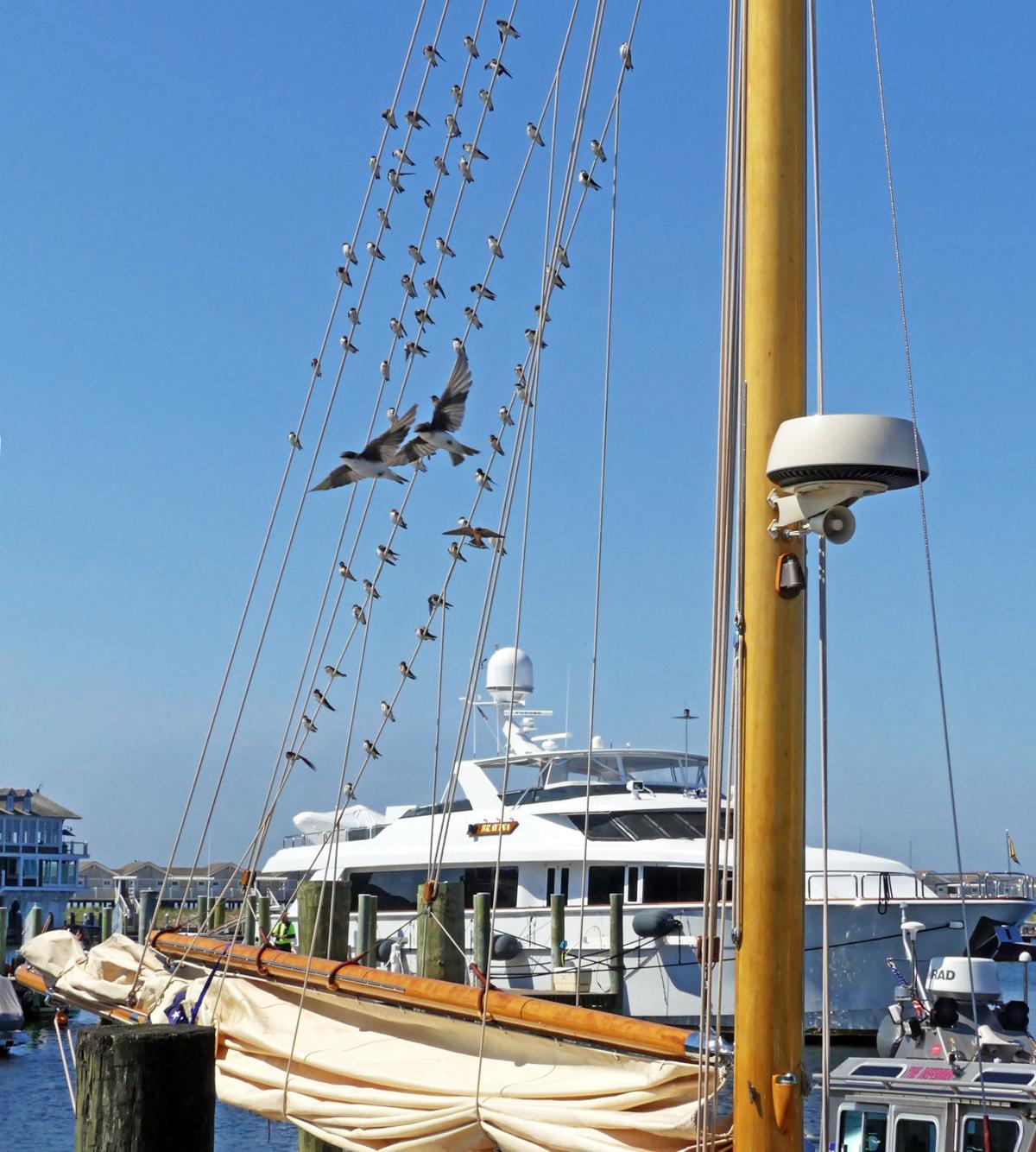 081519 WES Shorebirds roost in sailboat rigging 89.JPG