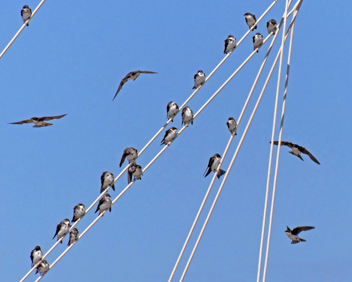 081519 WES Shorebirds roost in sailboat rigging 106.JPG