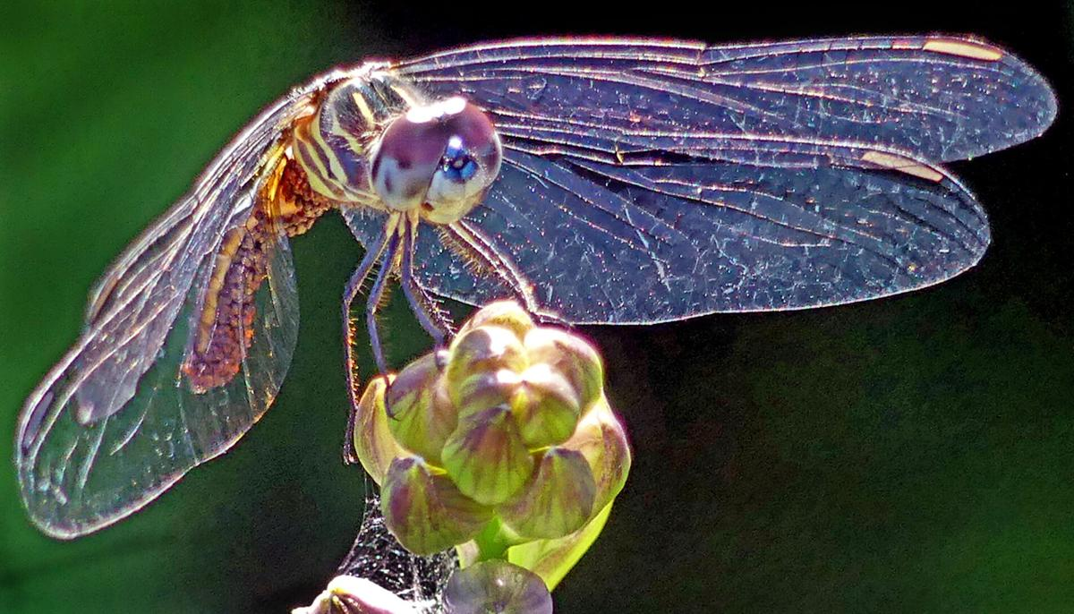 072521 STN Dragonfly perched on flower hh 65229.JPG