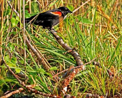 070419 STN Redwing Blackbird in Paffard Marsh 1031.JPG