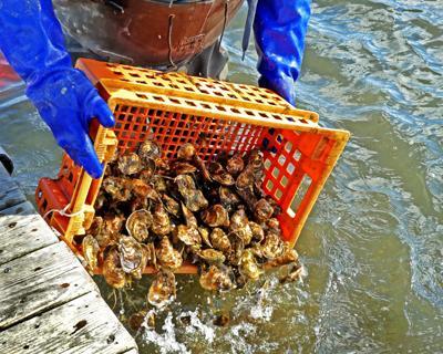 040618 CHR Behan family oyster farm hh 425.JPG