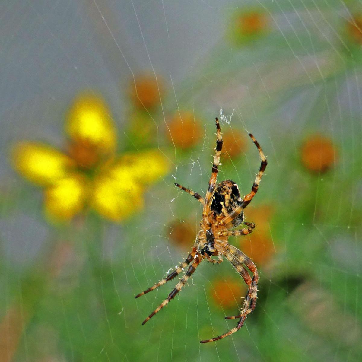 090719 STN Garden spider in web 361.JPG