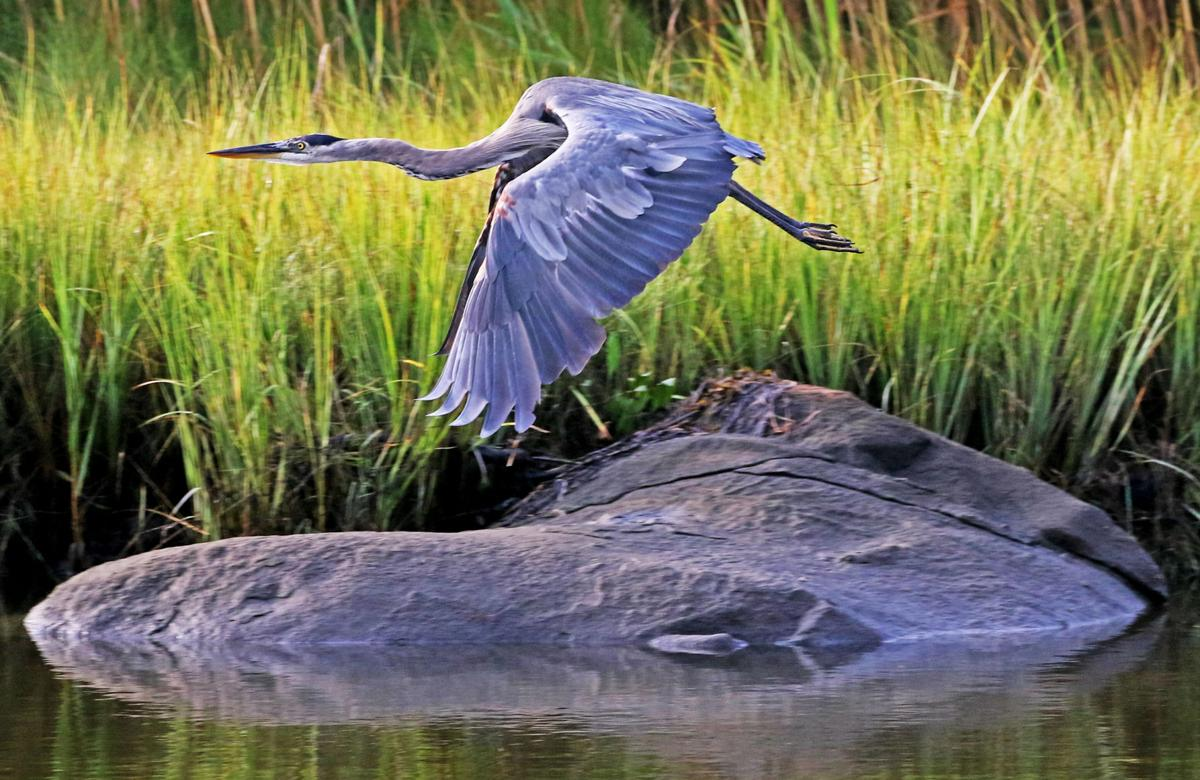 080819 STN Blue Heron wings off 948.JPG