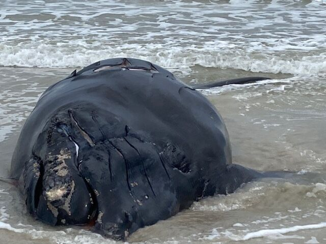 Right Whale Death