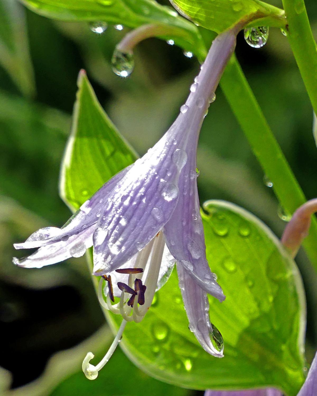 _0701219 STN Raindrops on blossoms 307.JPG