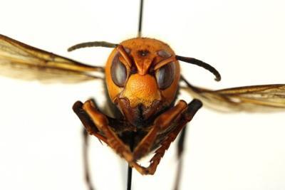 murder hornet 052620.jpg