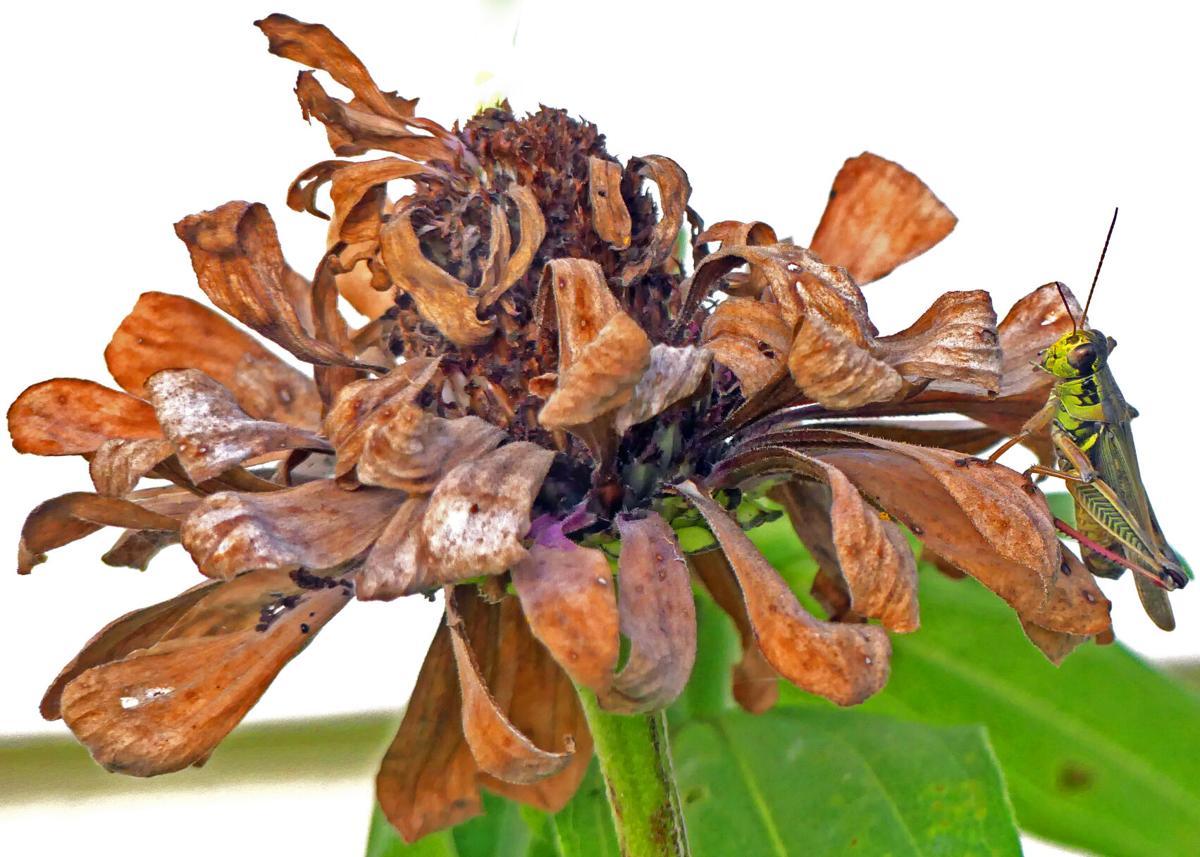 091921 WES Garden grasshopper hh 83621.JPG