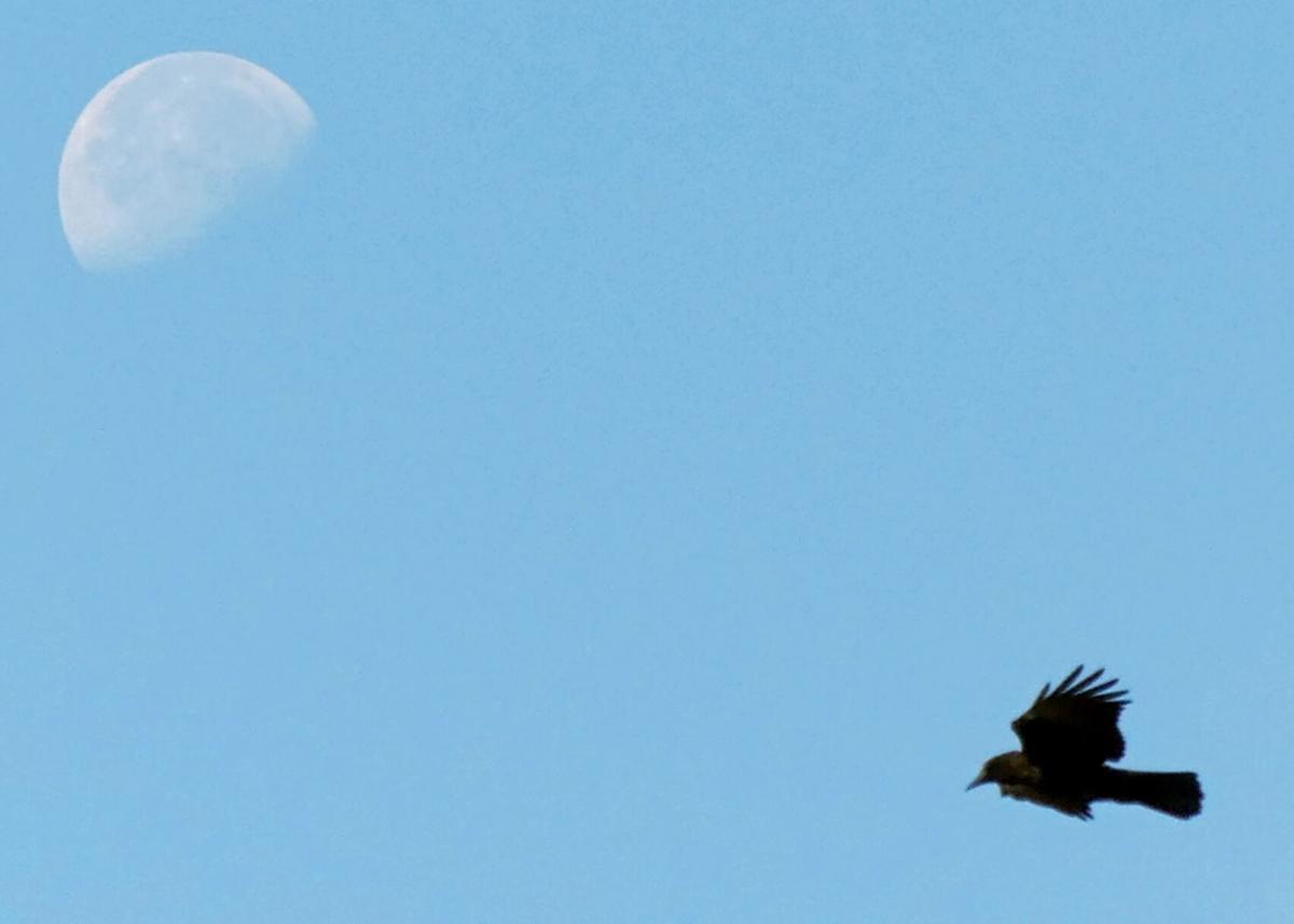 072921 PAW Crow and moon hh 66733.JPG
