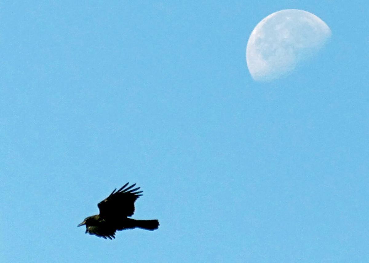 072921 PAW Crow and moon hh 66735.JPG