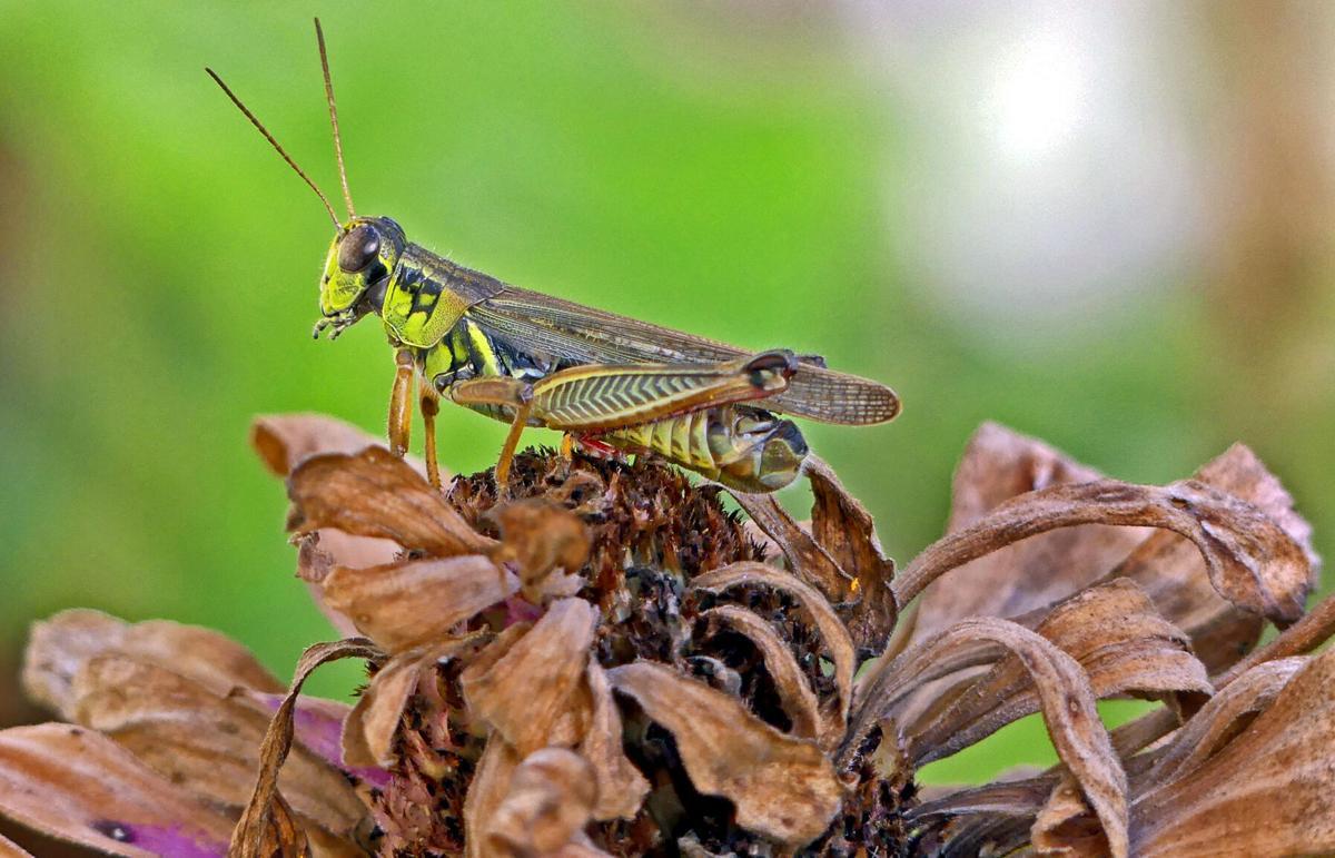 091921 WES Garden grasshopper hh 83646.JPG
