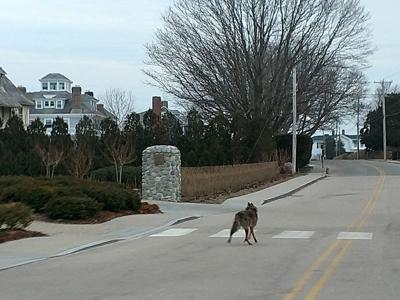 After coyote attack in Misquamicut, officials remind residents to take safety precautions