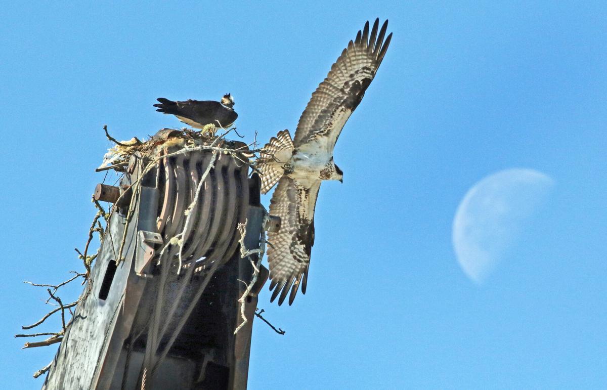 041420 PAW Moon over osprey nest 7589 copy.JPG