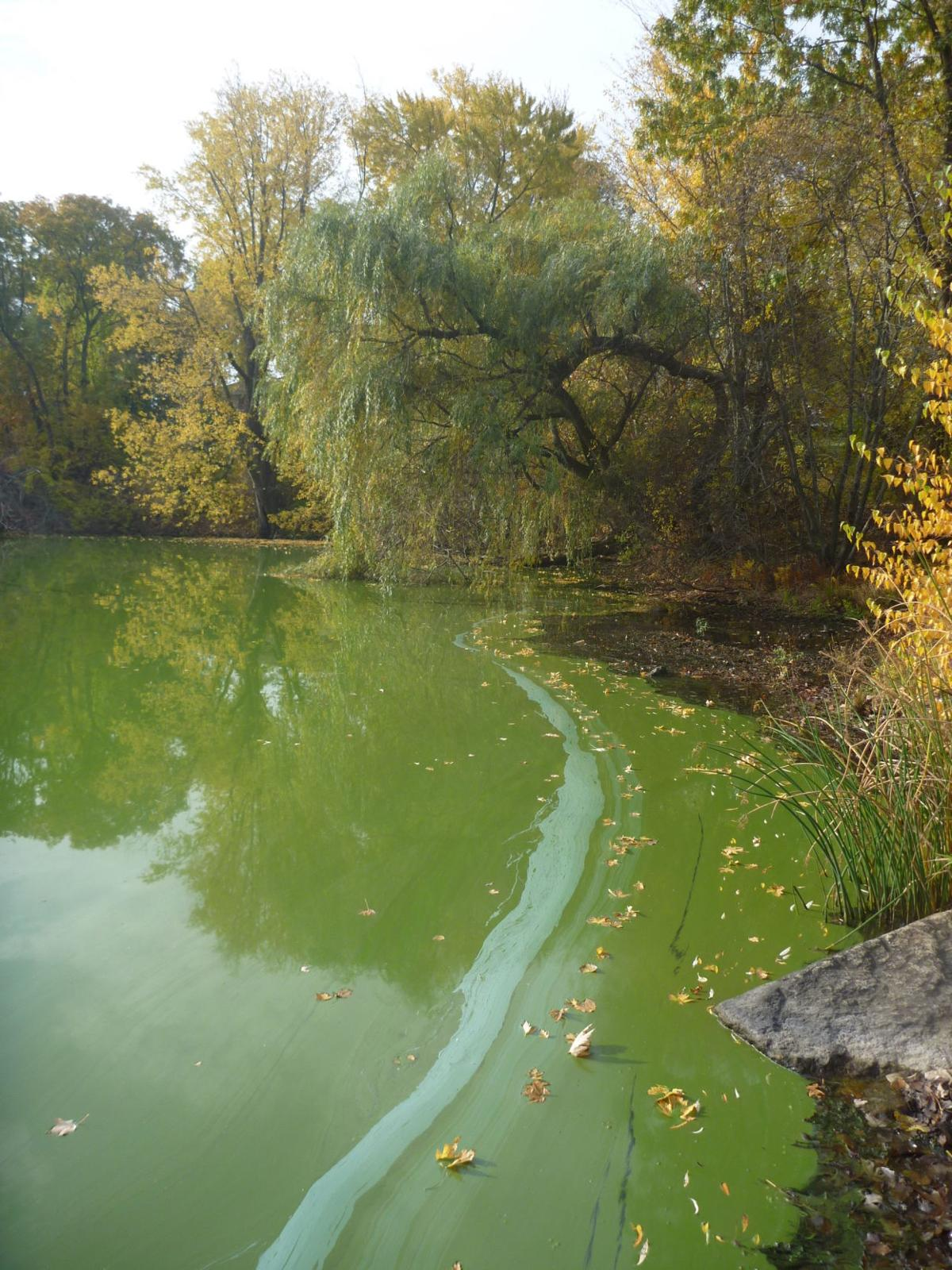 062629 REG algae in ponds submitted by RIDEM (2).JPG