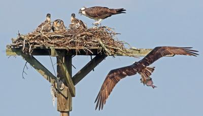 A nesting osprey pair on the Mystic River with two offspring. Sun file photo