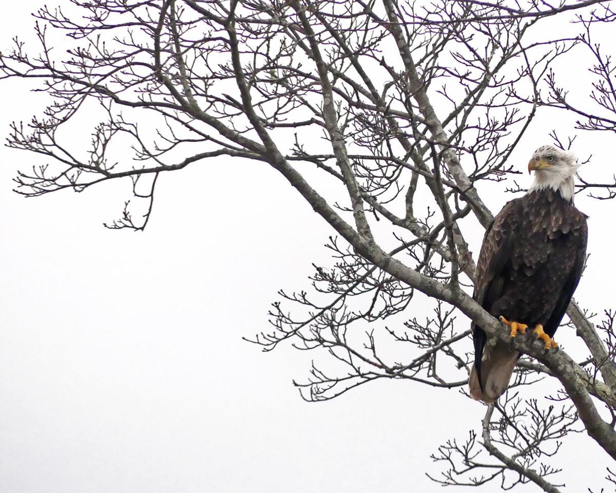 Eagle 4.JPG