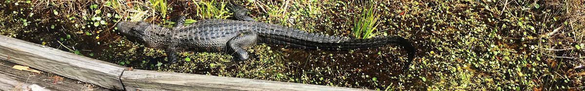Long gator.jpg