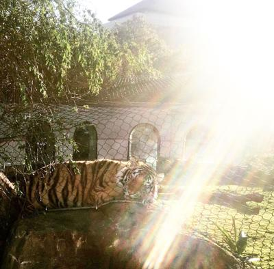 Mike the Tiger VI