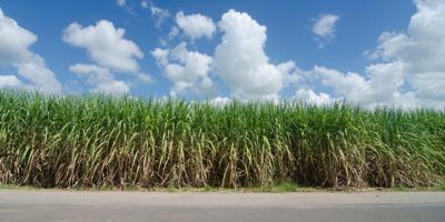 Sugarcane Field Stock