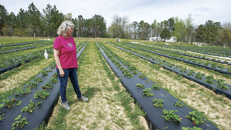 Strawberries will soon be plentiful at Oakview Farms
