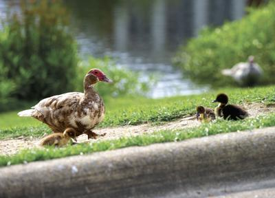 CACC-ducks