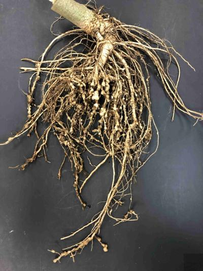 UGA study focuses on controlling nematodes in organic farms