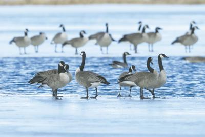 ND Outdoors - Canadian Geese