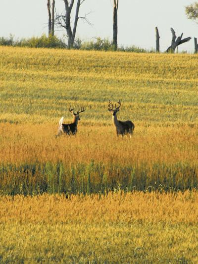 Two Deer In a pasture
