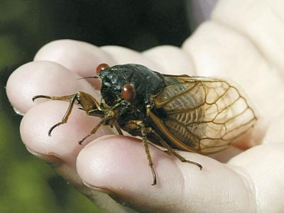 Cicada in Hand