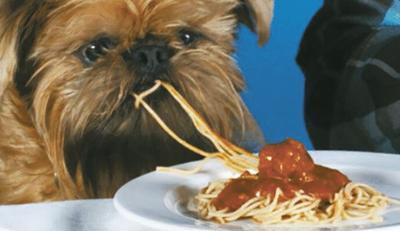 Dog eating spaghetti
