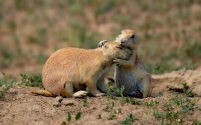 Governor's Photo Contest Winners Announced - Prairie Dog Embrace