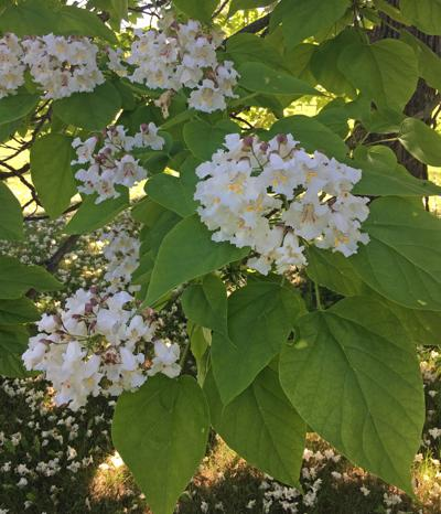 Right Tree right Place - Dakota Gardener