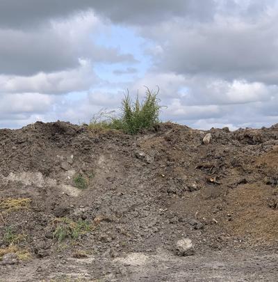Palmer Amaranth in Dirt Pile