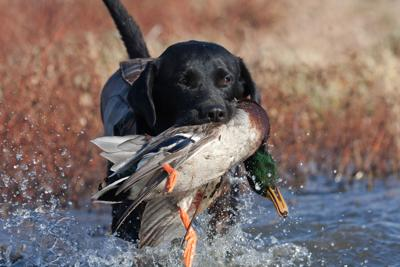 Hunting Dog In Water