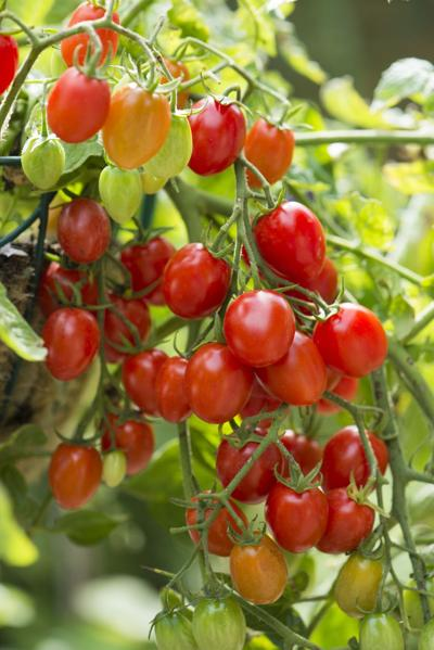 Tomato Plant On Vine